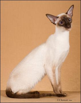 National Siamese Cat Club :::::